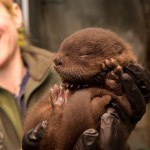 You otter see this! Zoo river otter Tilly has a 2nd pup, Ziggy