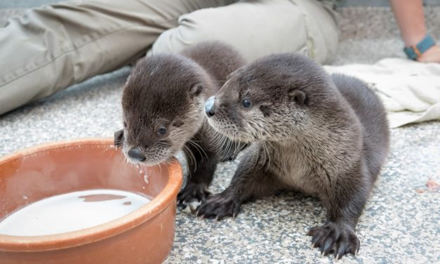 Two orphaned river otter pups find home at Oregon Zoo