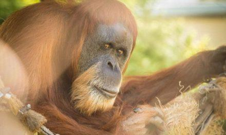 Zoo News is Good News: World's oldest orangutan turns 59 at Oregon Zoo