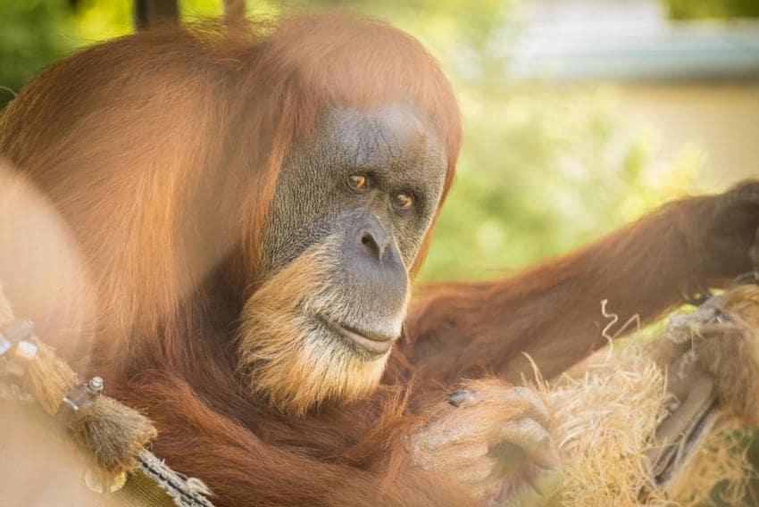 Zoo News is Good News: World's oldest orangutan turns 59 at Oregon Zoo