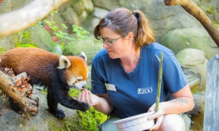 The cuteness is here! Zoo welcomes rare red panda