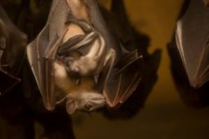 09 Baby Fruit Bat by Oregon Zoo