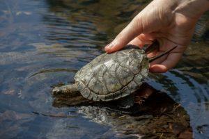 Western pond turtle release