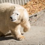 Zoo News is Good News: Beloved Polar Bear 'Nora' Moves In At Oregon Zoo