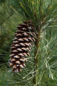 04-western-white-pine-close-up