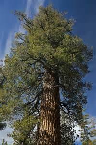 04-western-white-pine