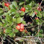 Native Plant of the Month: Kinnikinnick, Manzanita