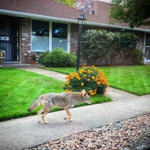 15 Coyote on 6th Street Beaverton 2016