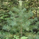 Native Plant of the Month: Western White Pine