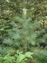 02 western white pine