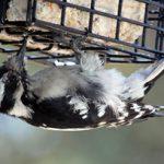 Beaverton Bird Watch: Beaverton's Friendliest Bird