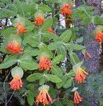 Native Plant of the Month: Orange Honeysuckle Vine
