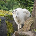 Zoo News is Good News: This 'Sassy' Mountain Goat Loves to Play