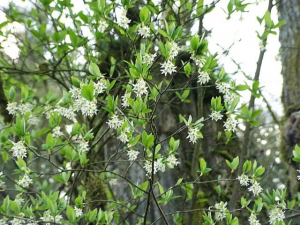 Native Plant of the Month: Osoberry (Indian plum)