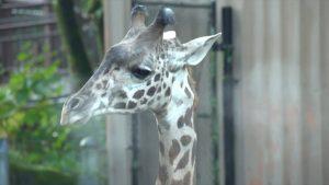 KPTV FOX Channel 12: Missing Giraffe in Beaverton?