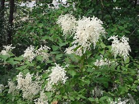 Native Plant of the Month: Common Name: Oceanspray, Cream Bush, or Iron Wood
