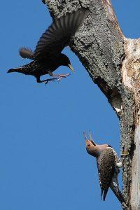 Beaverton Bird Watch: Ravens vs Raptors
