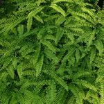 Native Plant of the Month: Northern Maidenhair Fern