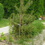 Native Plant of the Month: Shore Pine