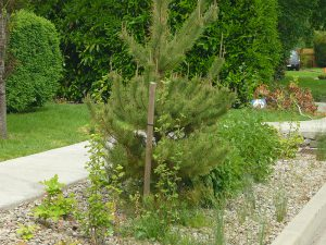 02 Pinus Contorta