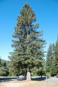 02 Picea sitchensis