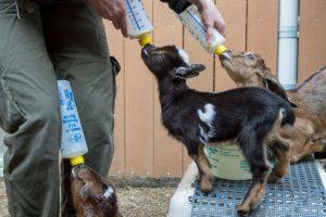 Goats Get Fed