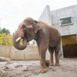 Zoo News is Good News: Lucky Asian Elephant Samson has a new home at the Oregon Zoo