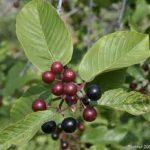 Native Plant of the Month: Cascara