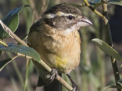 Beaverton Bird Watch: Bird sounds abound at Tualatin Hills