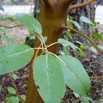 Native Plant: Pacific Madrone