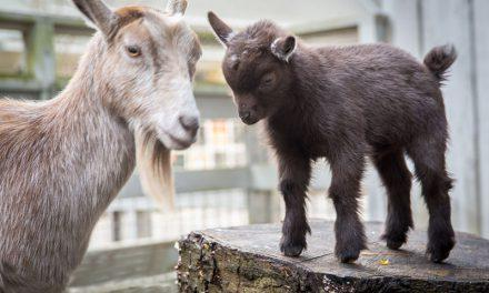 Zoo News – Oregon Zoo welcomes new goat kid.