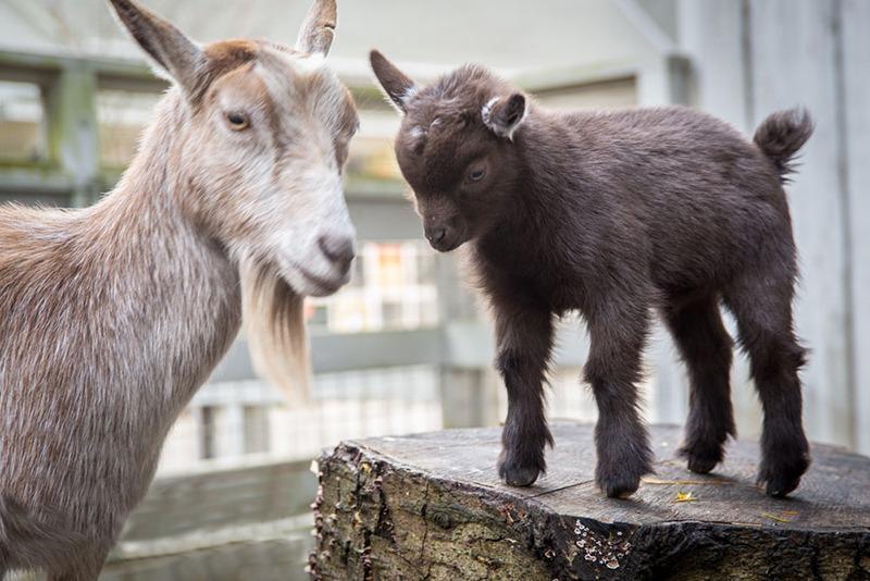 Zoo News – Oregon Zoo welcomes new goat kid.
