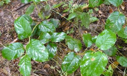 Plant Salal, get little edible berries