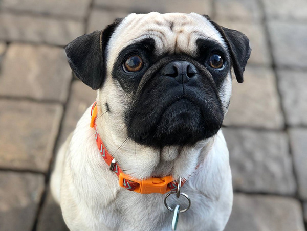 Pacific Pug Rescue: Please help us help adorable pugs