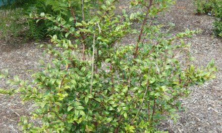 Native Plants to Oregon: Evergreen Huckleberry, A hardy easy to maintain shrub