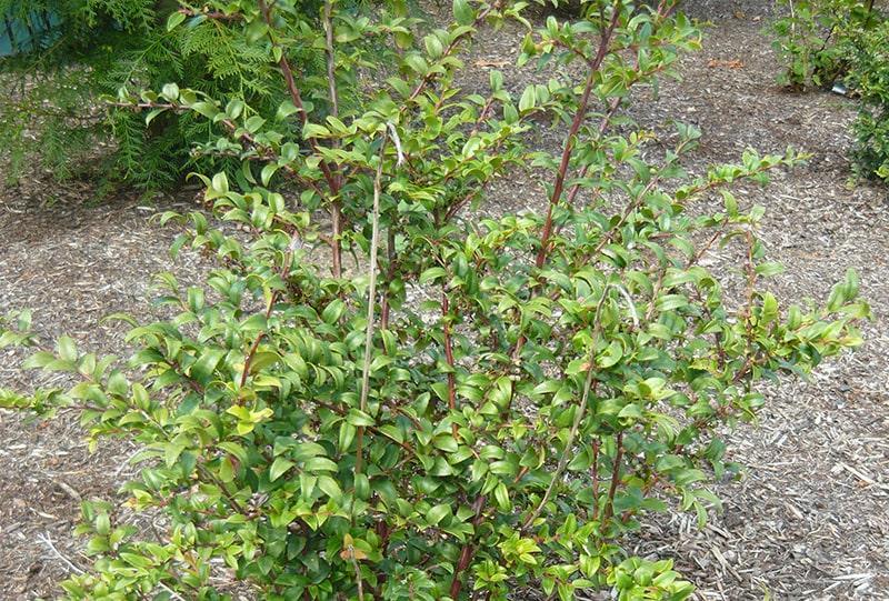 Native Plants to Oregon: Evergreen Huckleberry, A hardy easy to maintain shrub
