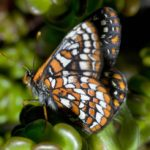 Zoo News is Good News: Endangered Northwest butterflies are being raised in record numbers at the Oregon Zoo
