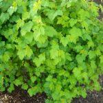 Native Plants to Oregon: Pacific Ninebark, A hardy easy to maintain shrub