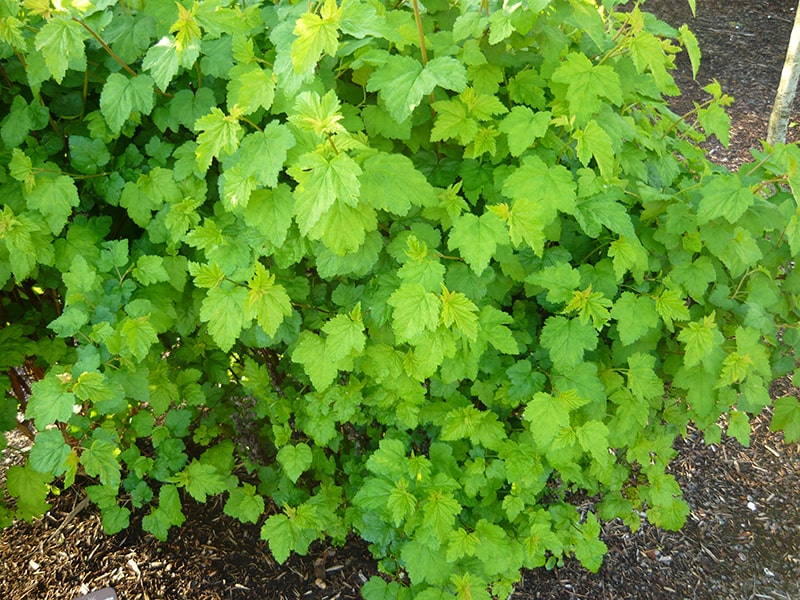 Native Plants to Oregon: Pacific Ninebark, A hardy easy to maintain shrub