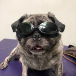 Lulu in her safety glasses: She's one cool pug!