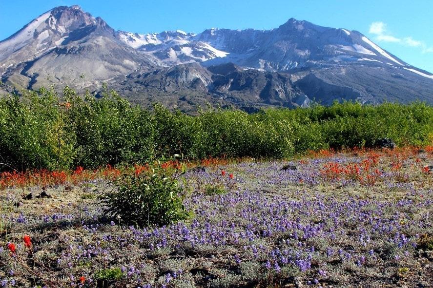 Mount Saint Helen Survivor: Prairie Lupine