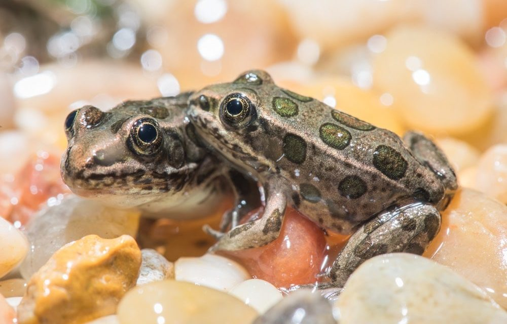 New program gives endangered Northwest frog a leg up so they can get back to the wild