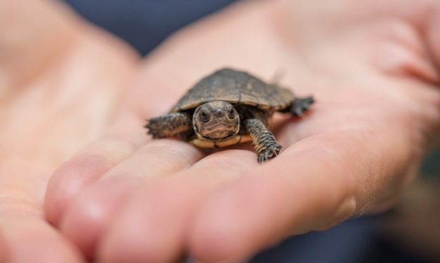 Twenty tiny hatchlings are here and they're turtley cool