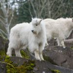 Meet the new kids on the block: Two mountain goat kids find home at Oregon Zoo