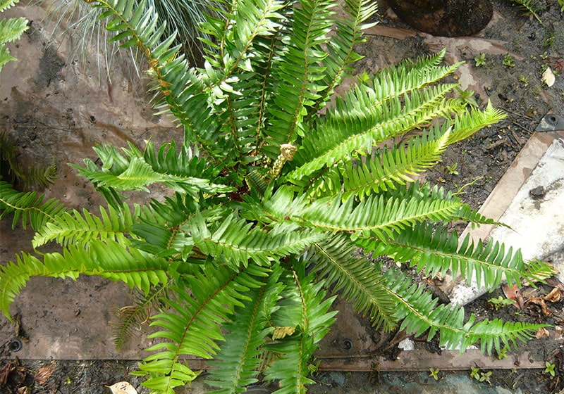 Named for its dagger-like leaflets (Common Name: Sword Fern)