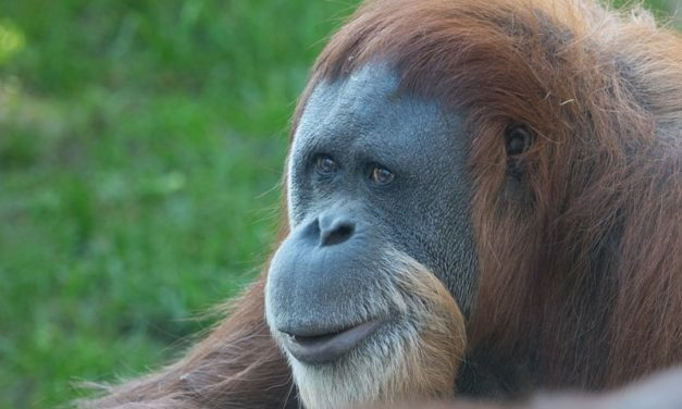 World's oldest orangutan turns 60 at Oregon Zoo, Arriving in Oregon back in 1961