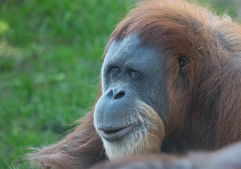 World's oldest orangutan turns 60 at Oregon Zoo, Arriving in Oregon back in 1961