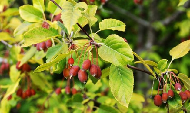 Common Name: Western Crabapple (Great plant for attracting wildlife!)