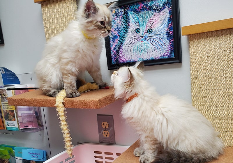 Fear free vet visits start at home, Especially for cats