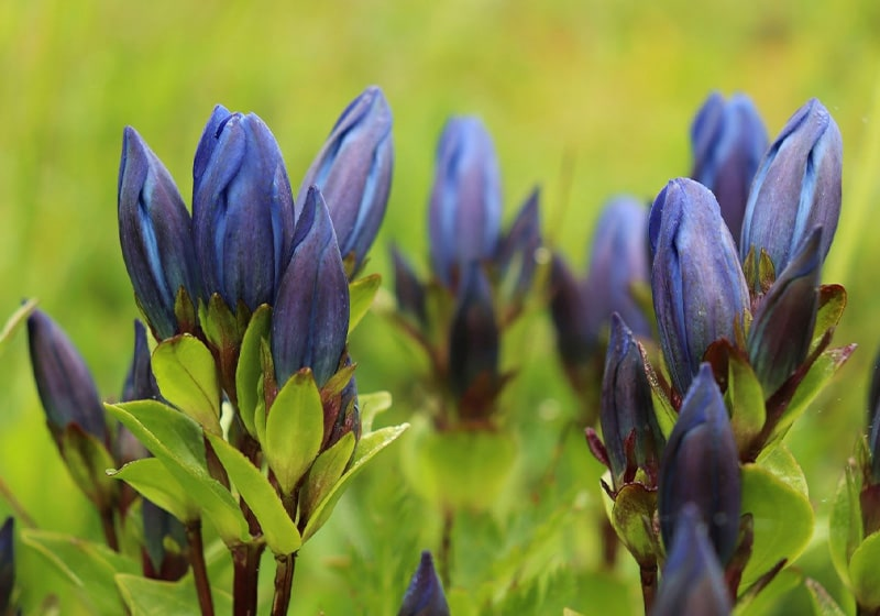 Named after an Illyrian King. Common Name: Mountain Bog Gentian
